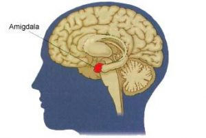 amigdala-300x202.jpg