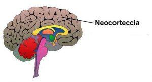 neocort-300x162.jpg