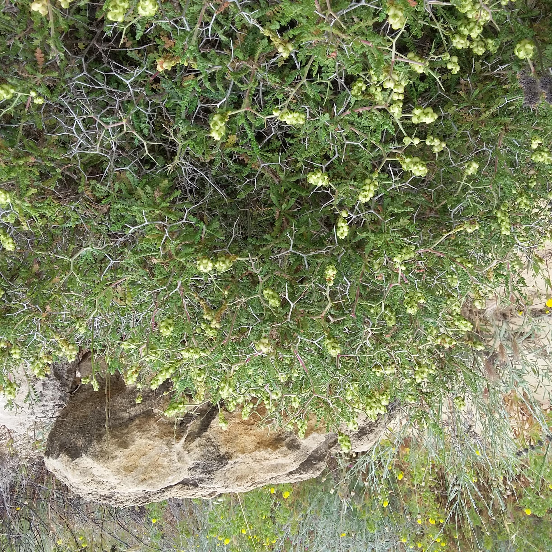 Prickly Burnet