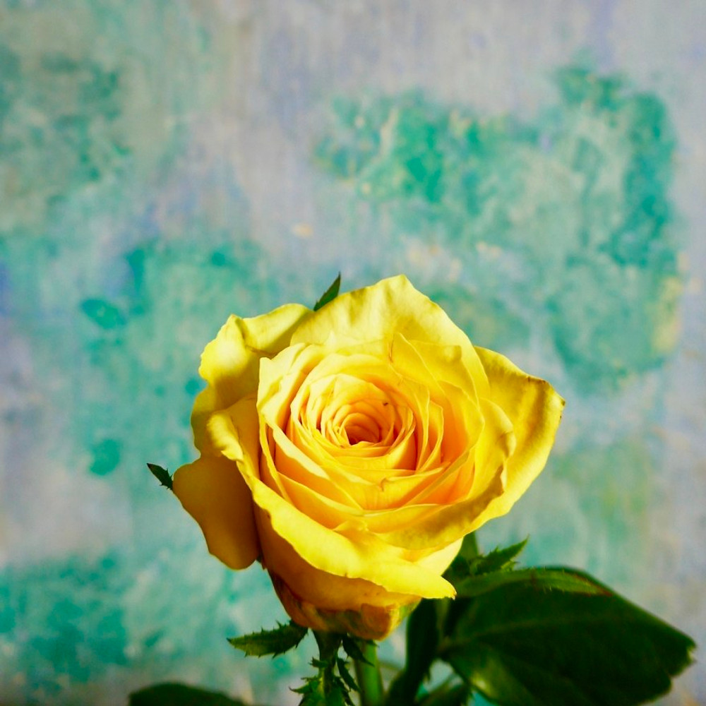 A yellow rose set against an old wall - the green paint is peeling but gives a beautiful coloured background.
