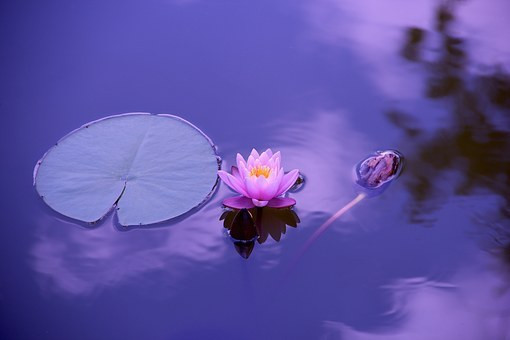 A photograph of a pinky-purple lotus flower and lily pad. The water is reflecting the light of a deep purple sunset.