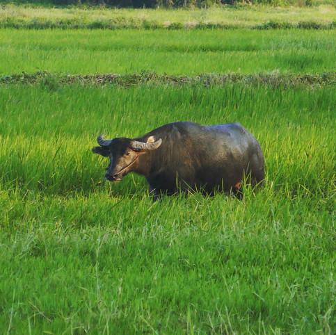 Buffalo in a paddy field Hoi An Vietnam