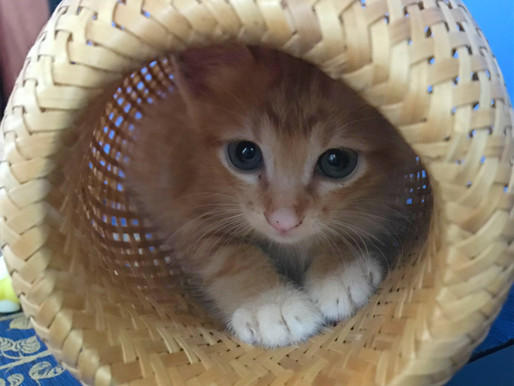 Kittens, Workshops and Events in Hoi An