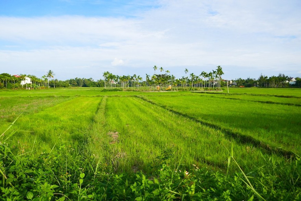 A photograph of beautiful Hoi An Paddy Fields with a temple in the distance.