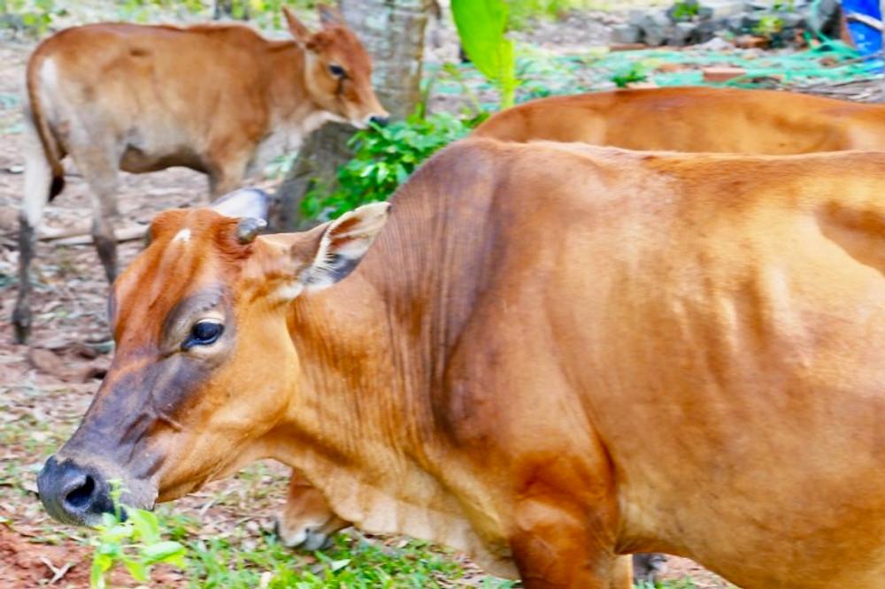 Buffalo graze in Vietnam