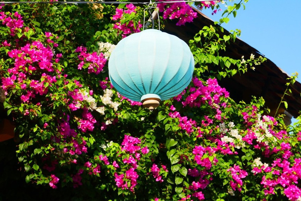 A pale blue Vietnamese lantern hangs in front of a beautiful bourganvillea bush of vibrant green leaves, covered in pink flowers.