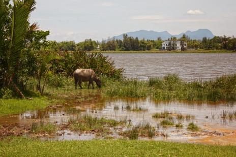 Buffalo grazing by the Thu Bon River, Hoi An