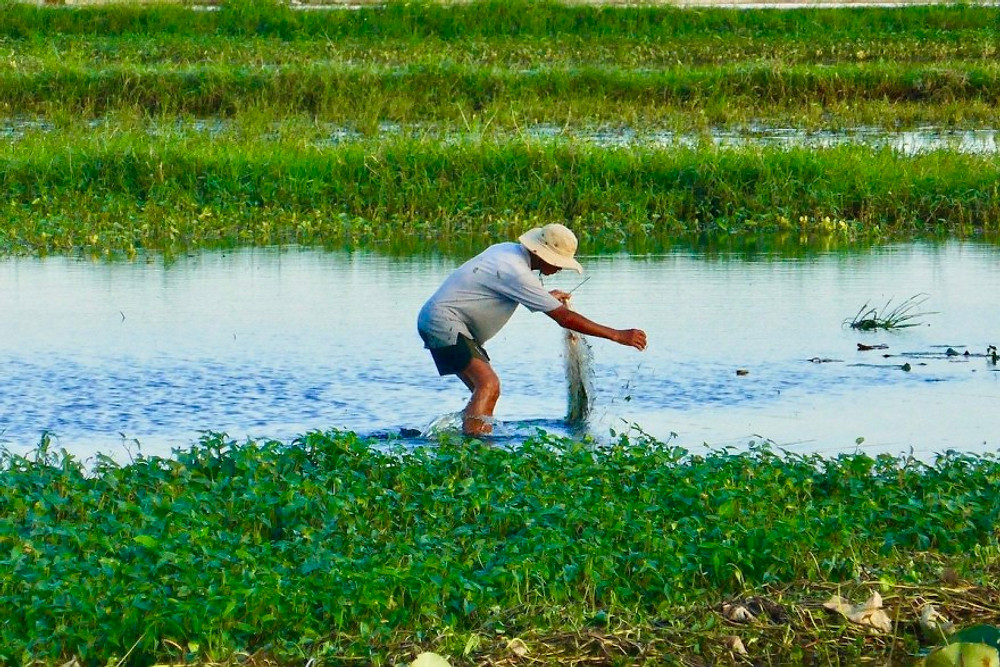 A glimpse into local life! A Vietnamese man is ankle deep in the water of a rice paddy field.  He is fishing using traditional methods.