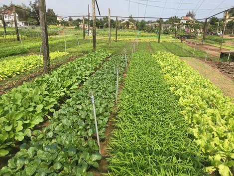 Tra Que organic vegetable village Hoi An