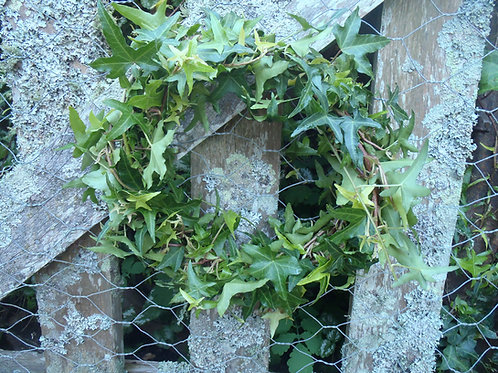 Ivy Wreath - Mid-Winter Christmas Decorations