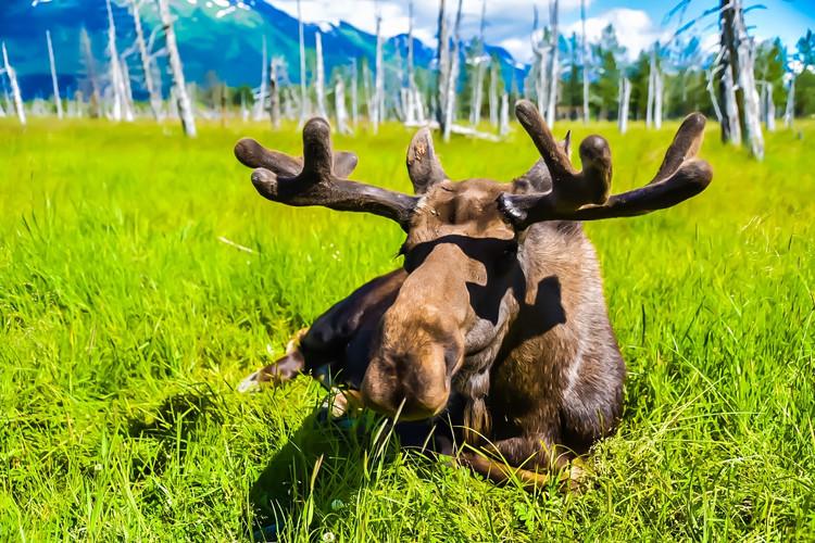 Moose Alaska