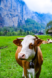 Happy Cows Come from Switzerland!