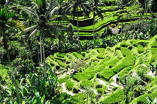 bali, rice fields, rice paddes