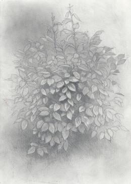 italian bush