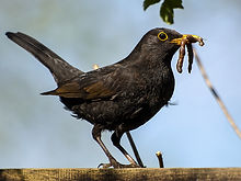 blackbird-2394788.jpg