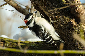 11 - October - Lesser Spotted Woodpecker