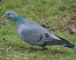 stock dove.jpg