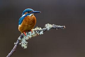 Kingfisher (8).jpg