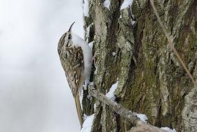 13 - December - Tree Creeper.jpg
