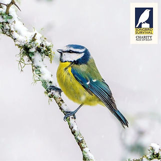 SongBird Survival - Blue Tit inc Brandin