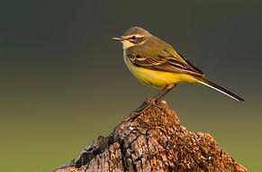 Yellowwagtail (3).jpg