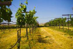 vineyards2.jpg