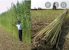 chinese hemp dual pic.jpg