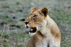 Lion Conservation in 3 minutes!