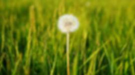 grass dandelion.jpg