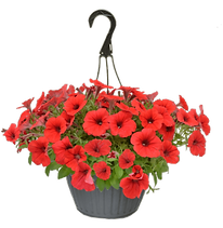 hanging basket red petunias.png