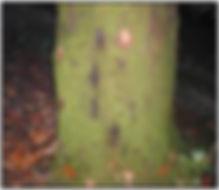 oakblight2.jpg