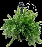 fern hanging.png