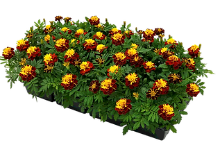 flat%2520of%2520marigolds%25202%2520ppsd