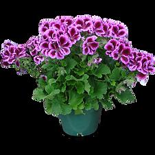 mw geraniums 1.png