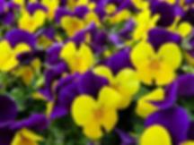 flowers pansies.webp