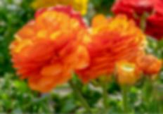 flowers ranunculus.png