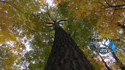 London Forest Maple Tree