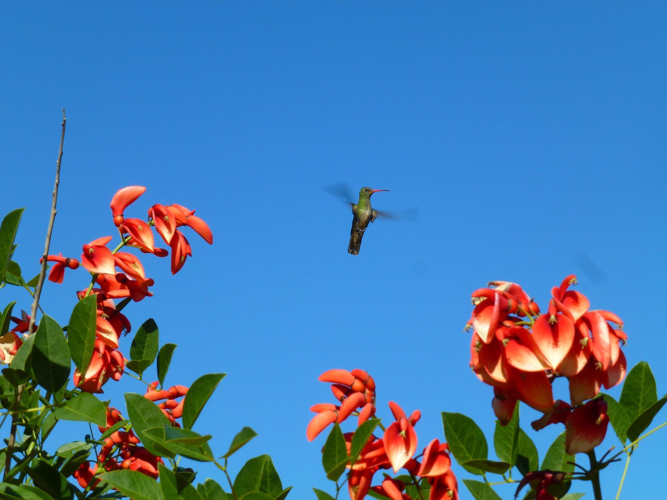 colibri y ceibo