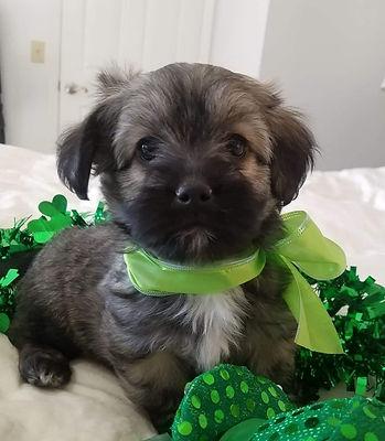 Havanese puppies for sale havanese dogs Missouri Kansas ...