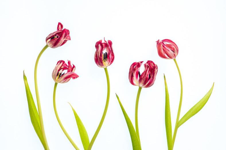 P4052748 Tulip.wx.jpg