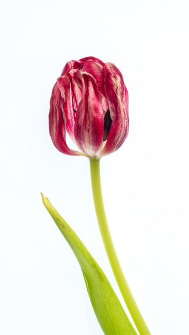 P4052735 Tulip.wx.jpg