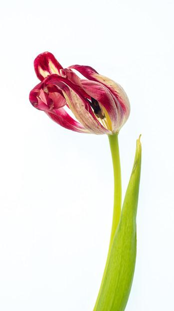 P4052742 Tulip.wx.jpg