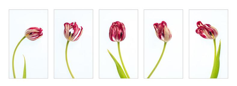 5 Tulips.wx.jpg