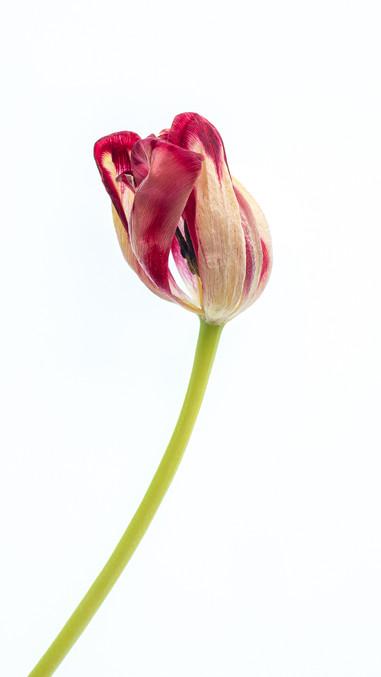 P4052741 Tulip.wx.jpg
