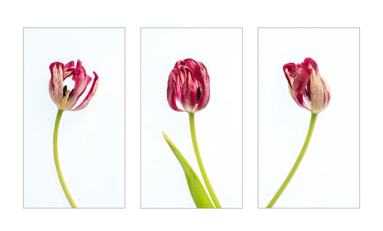3 Tulips.wx.jpg