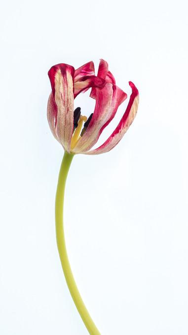P4052738 Tulip.wx.jpg