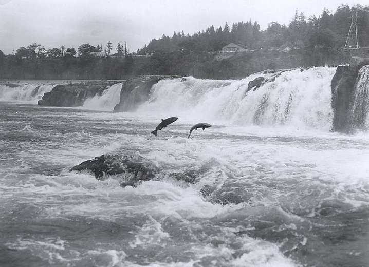 800px-Salmon_leaping_at_Willamette_Falls