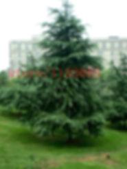 İbreli Ağaçlar