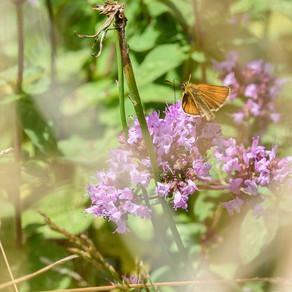 Oreganofjärilar