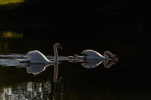 Swan Morning